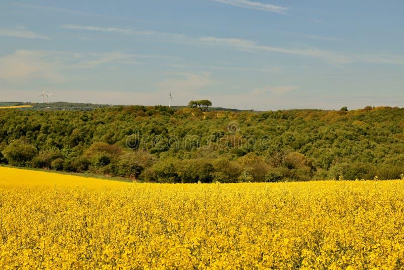 含油种子的金黄领域 免版税库存照片