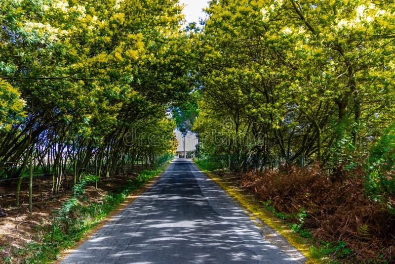 含羞草在途中的树隧道 路生长含羞草和金合欢在b 免版税库存图片