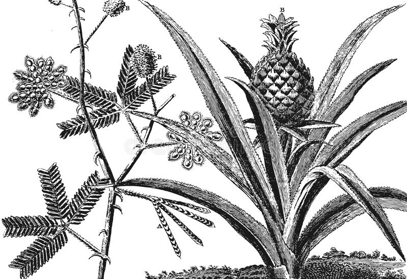 含羞草树 菠萝树 皇族释放例证