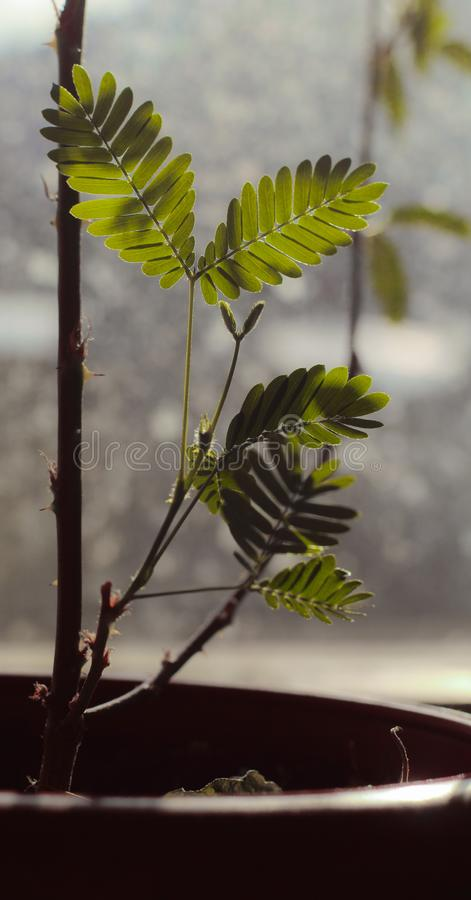 含羞草生叶有sunbath 库存图片