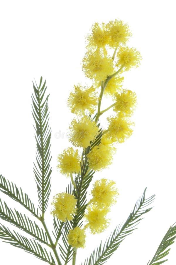 含羞草的枝杈 免版税库存照片