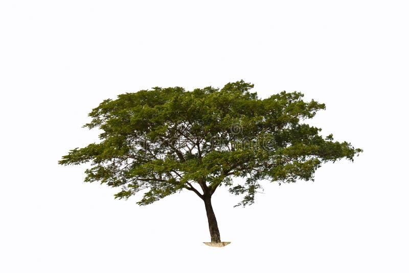 含羞草结构树 向量例证
