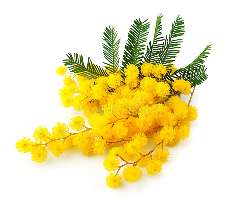 含羞草花的枝杈 图库摄影
