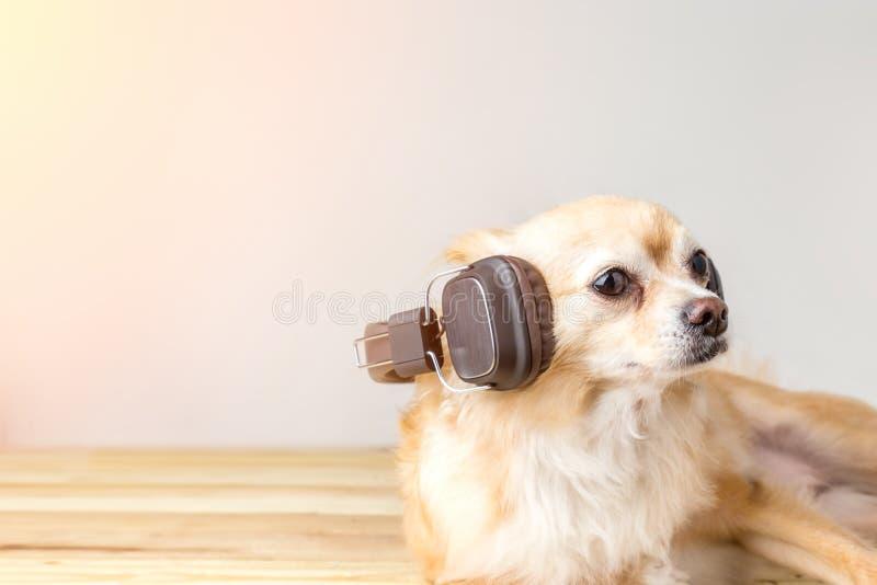 听到音乐的逗人喜爱的奇瓦瓦狗狗 免版税库存照片