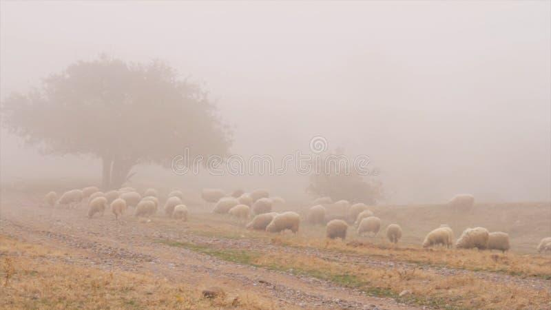 听说的绵羊在秋天山的有雾的早晨 射击 在牧场地的绵羊雾的 免版税库存照片