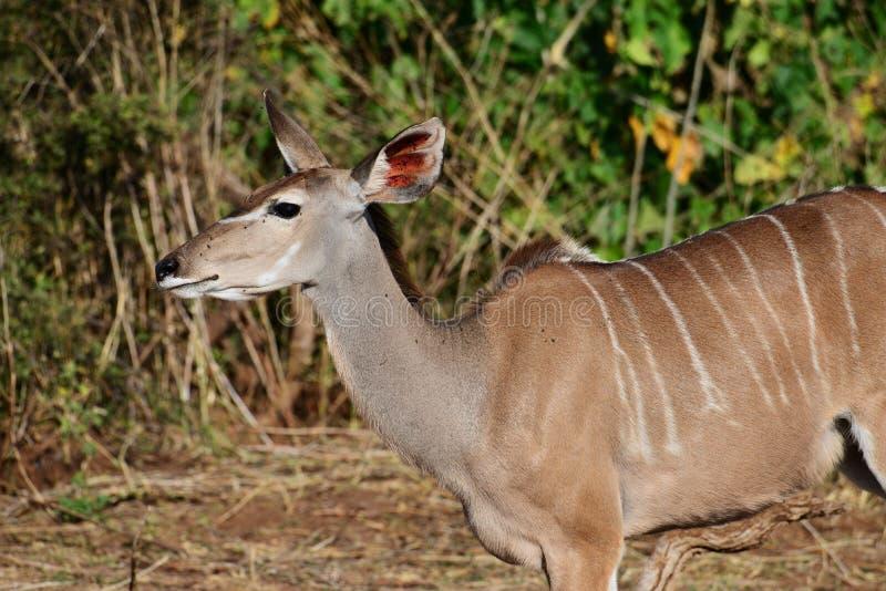 听Femal的kudu,一个耳朵竖起了听 库存照片