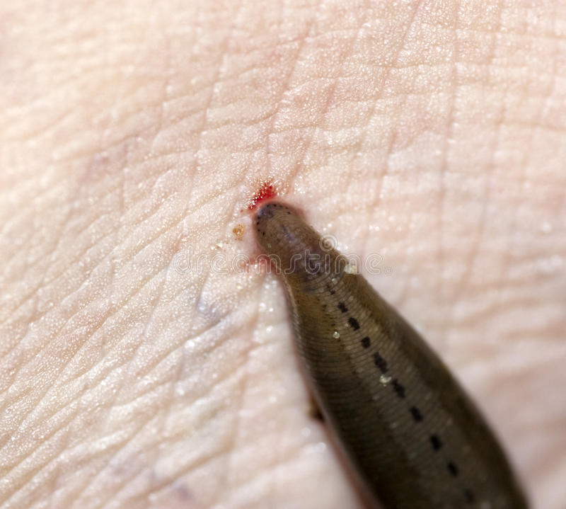 吮水蛭的血液 库存照片