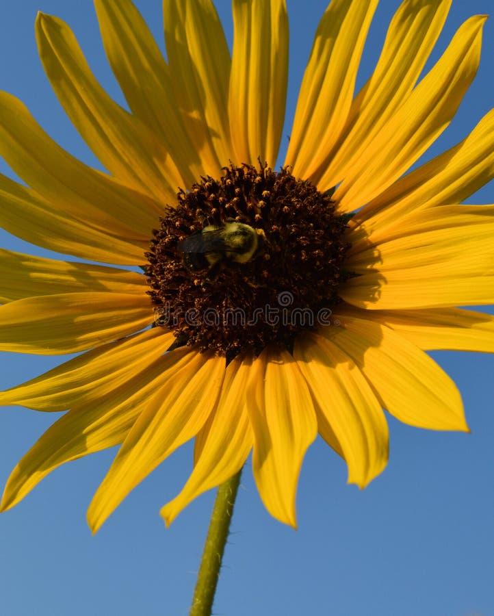 吮花蜜的失败蜂从一个大向日葵 库存图片