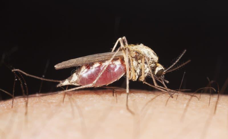 吮血液接近的极其的蚊子  免版税库存照片