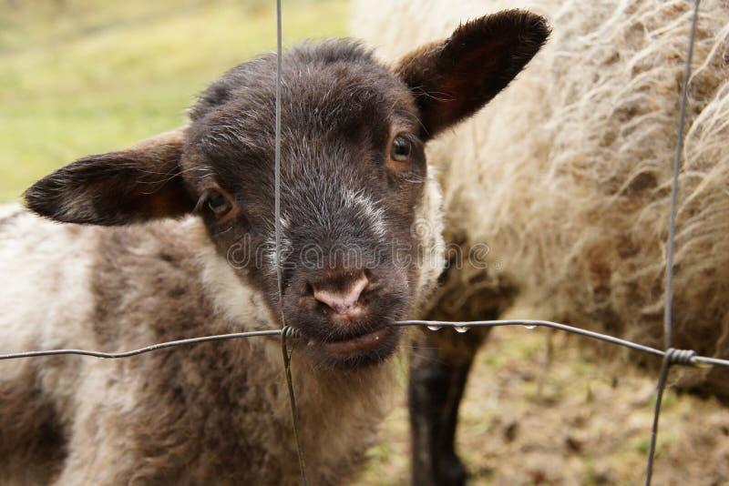 吮露水的黑带头的羊羔从篱芭 库存图片