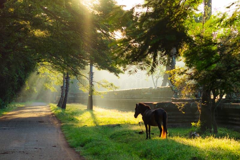 吴哥窟寺庙复合体,暹粒,柬埔寨 在草坪的孤独的马早晨薄雾的 免版税库存照片