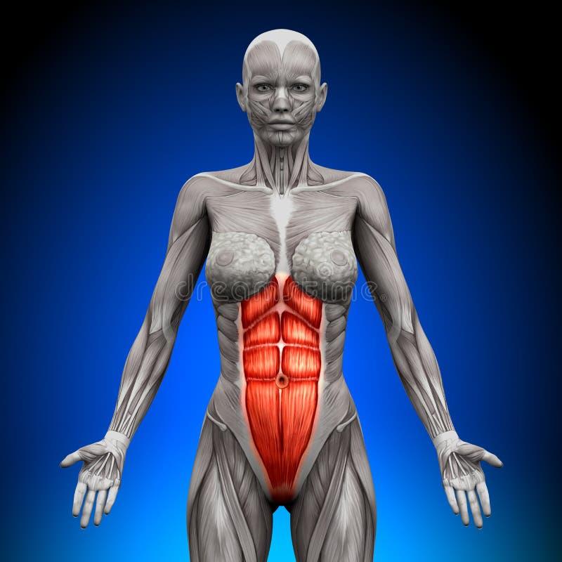 吸收-女性解剖学肌肉 皇族释放例证