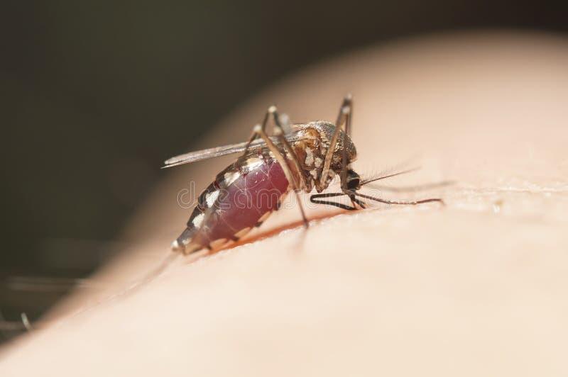吸血动物的蚊子,伊蚊属Aegypti蚊子,蚊子吸血动物胀大的腹部,蚊子吮的血液 库存图片