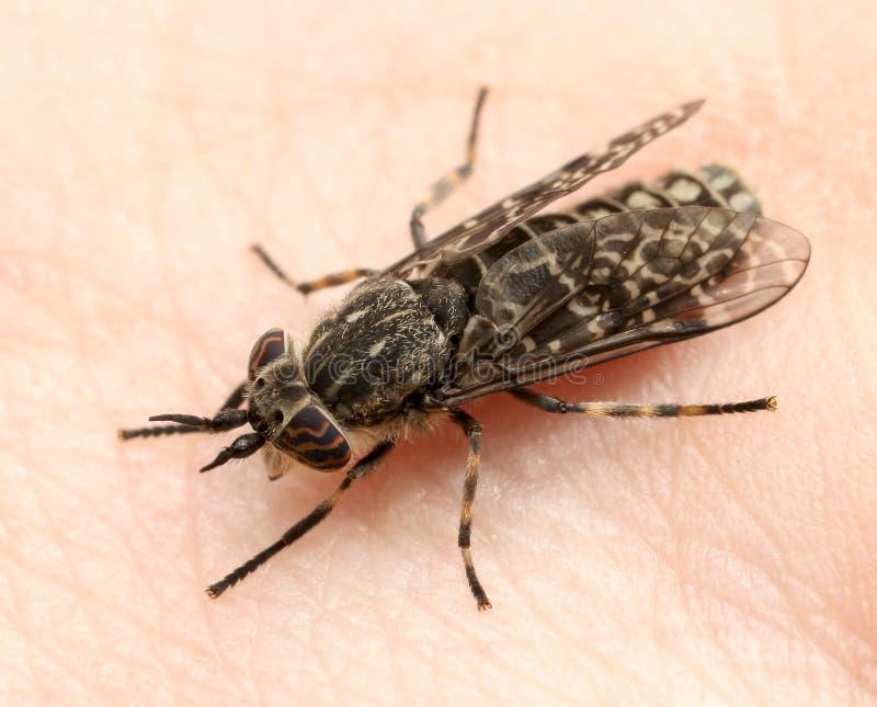 吸血动物马蝇 库存图片