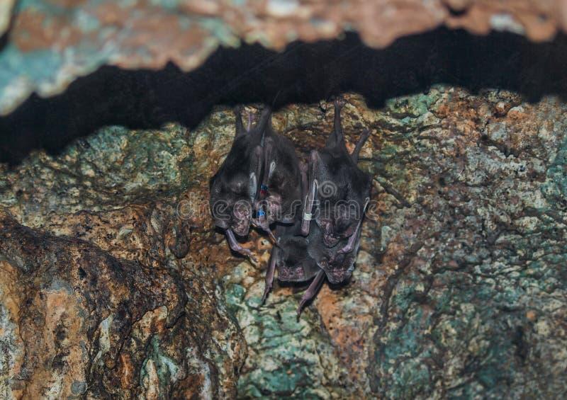 吸血蝙蝠吸血鬼蝙蝠 免版税库存照片