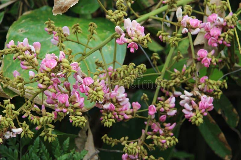 吹从种子的微小的玫瑰色花 库存图片