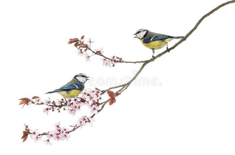 吹口哨在一个开花的分支, Cyanistes caeruleus的两只蓝冠山雀 库存照片