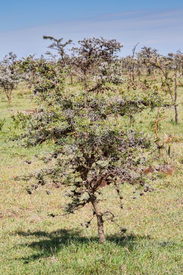 吹哨的刺金合欢树 库存图片
