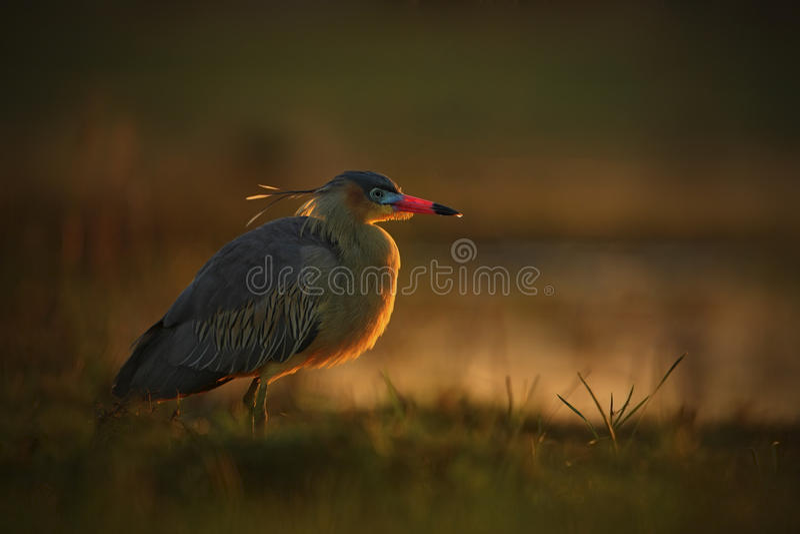 吹哨的苍鹭, Syrigma sibilatrix,与晚上太阳,潘塔纳尔湿地,巴西的鸟 免版税库存图片