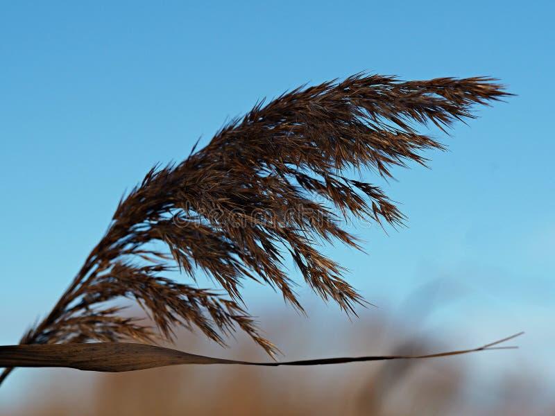 吹在与天空蔚蓝的微风的里德 免版税库存图片