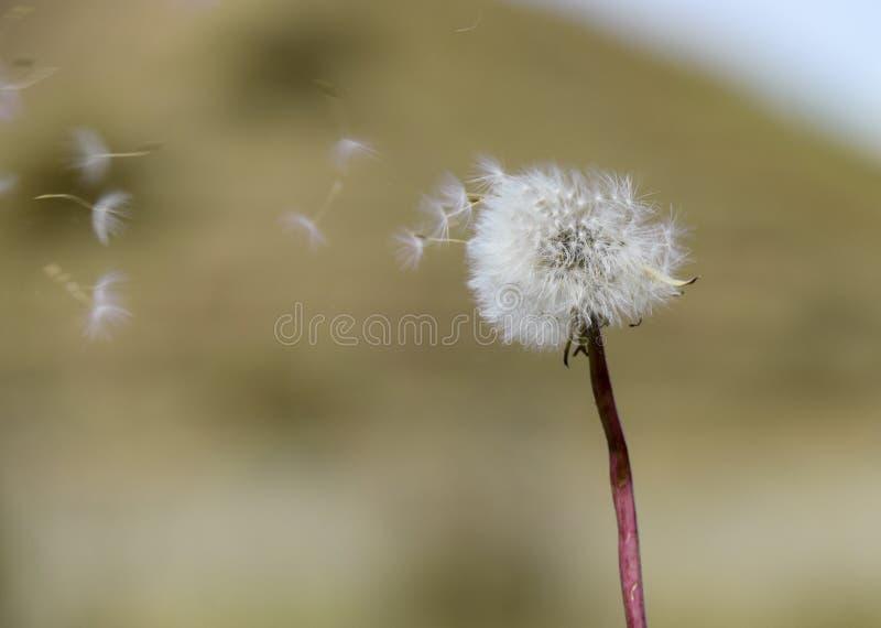吹在自然被弄脏的绿色背景的蒲公英种子 免版税库存照片