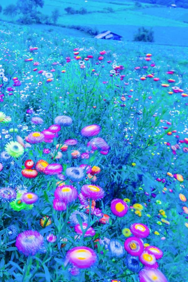 吹在风在月光下,春天抽象派的开花的雏菊行动迷离  r 蓝色口气 免版税库存照片