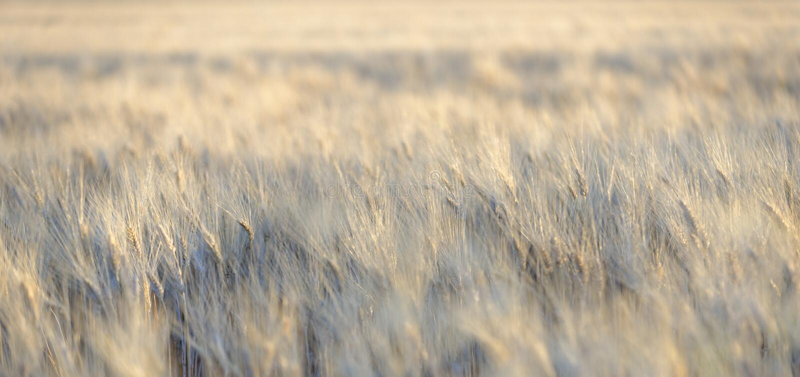 吹在风的大麦 库存图片