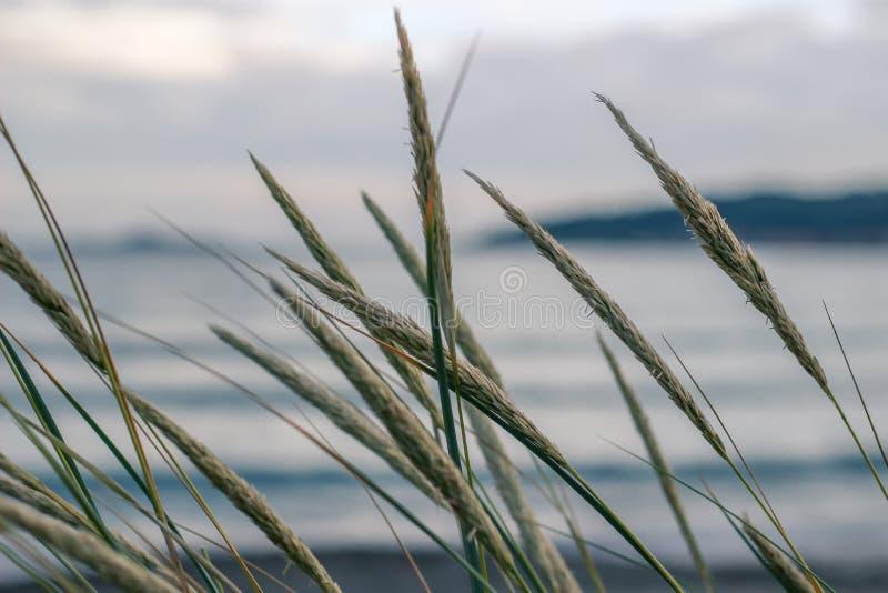 吹在风的海滩草和秸杆 库存照片