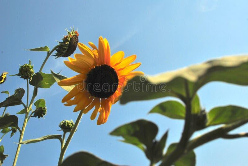 吹在风的金黄向日葵 库存照片