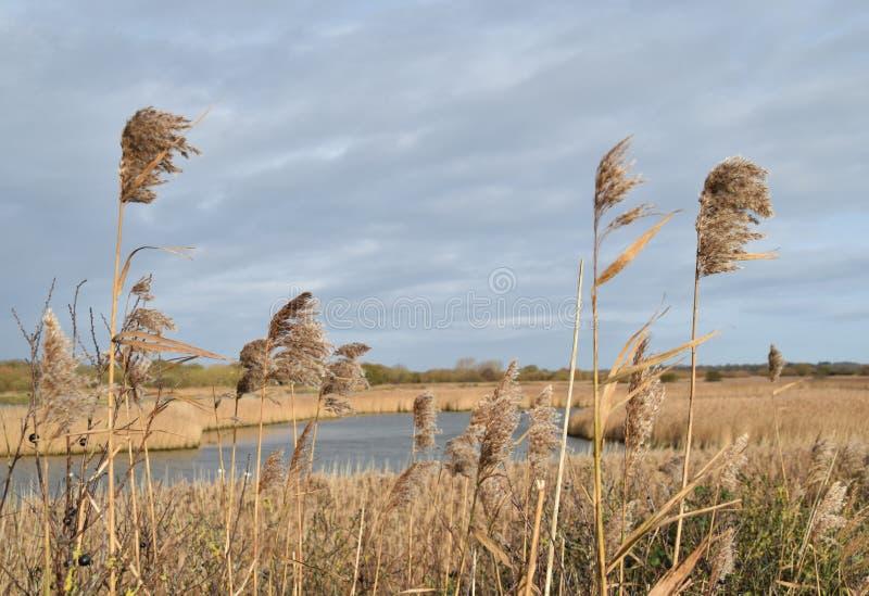 吹在风的仓促在沼泽地 免版税库存照片