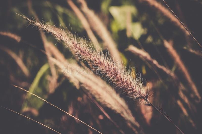 吹在风葡萄酒口气的绯红色喷泉grassPennisetum setaceum 库存图片