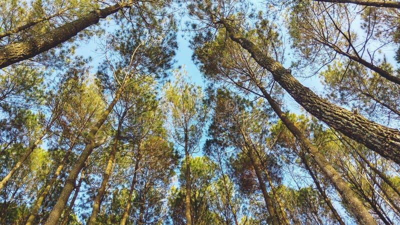 吻合风景在墙纸或流动背景横式的印度尼西亚杉木森林里 免版税图库摄影