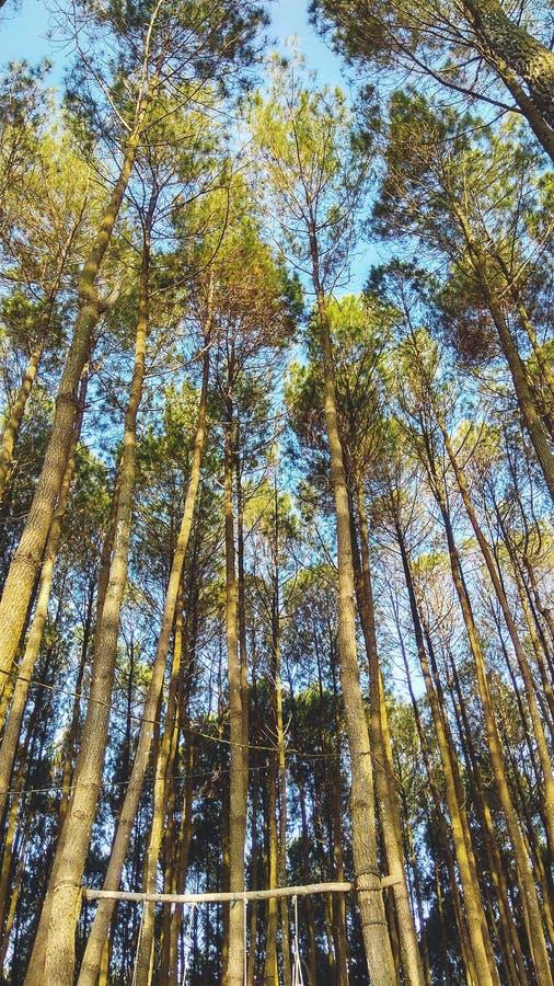 吻合风景在墙纸或流动背景横式的印度尼西亚杉木森林里 库存照片