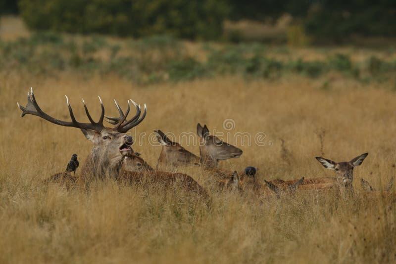 吼叫的雷德迪尔雄鹿& x28; 鹿elaphus& x29;围拢由它的放下在草的hinds 免版税库存照片