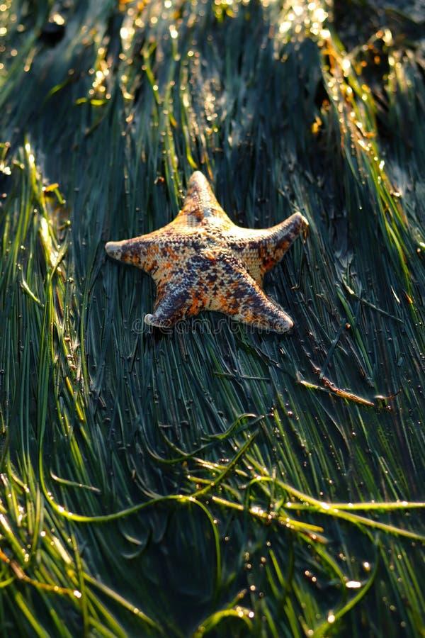 呈杂色的棒星,Patiria miniata,在surfgrass 免版税库存照片