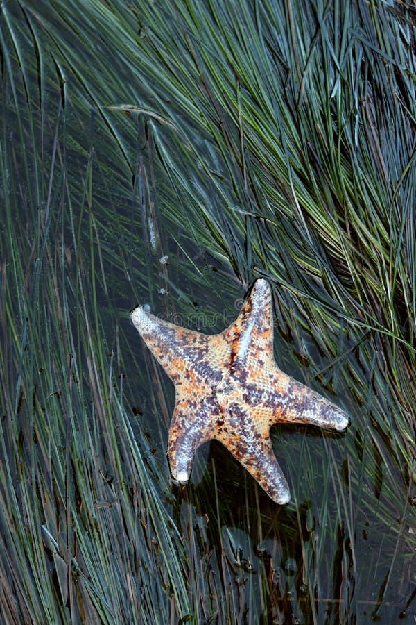 呈杂色的棒星,Patiria miniata,在surfgrass 库存照片