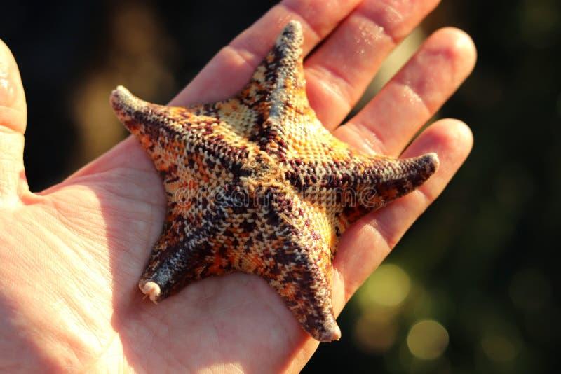 呈杂色的棒星Patiria miniata在手中 免版税库存照片