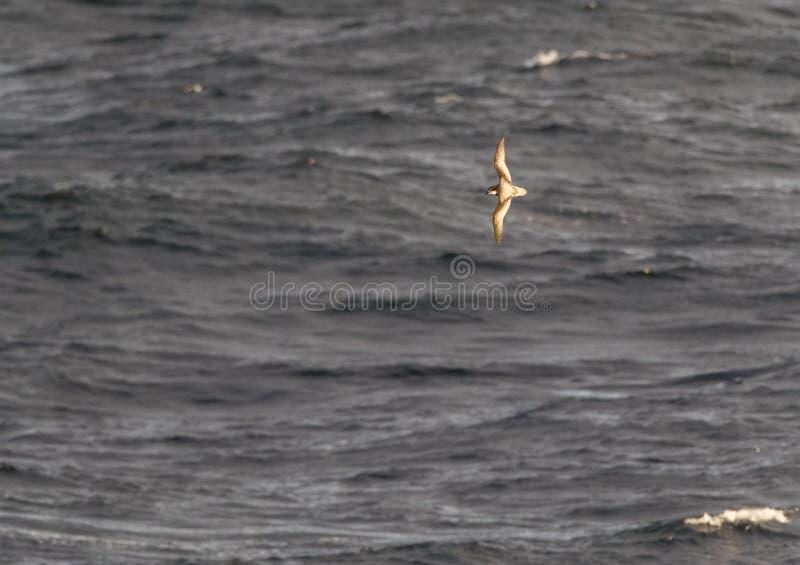 呈杂色的海燕, Pterodroma inexpectata 免版税图库摄影