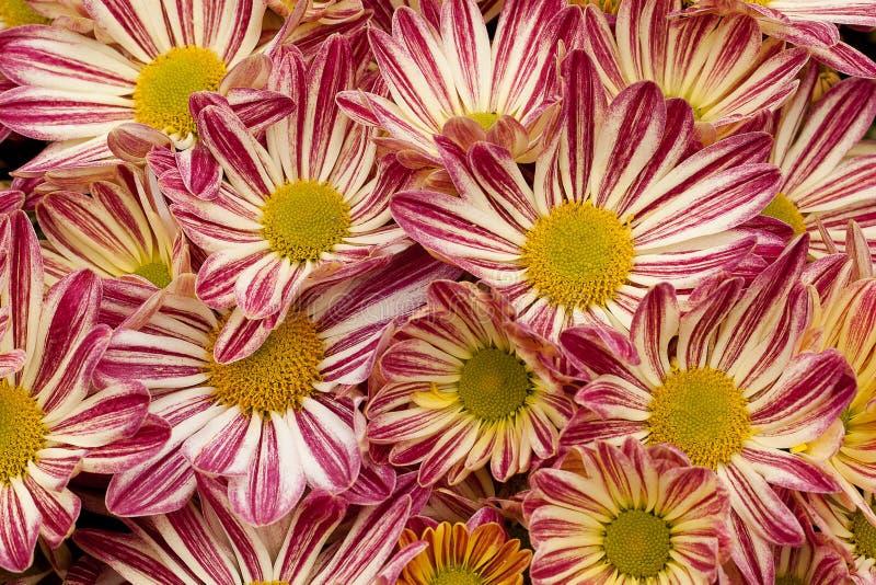 呈杂色的美丽的花 库存照片