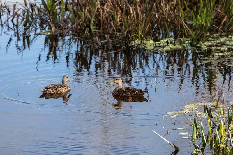 呈杂色的鸭子语录fulvigula游泳在沼泽 库存图片