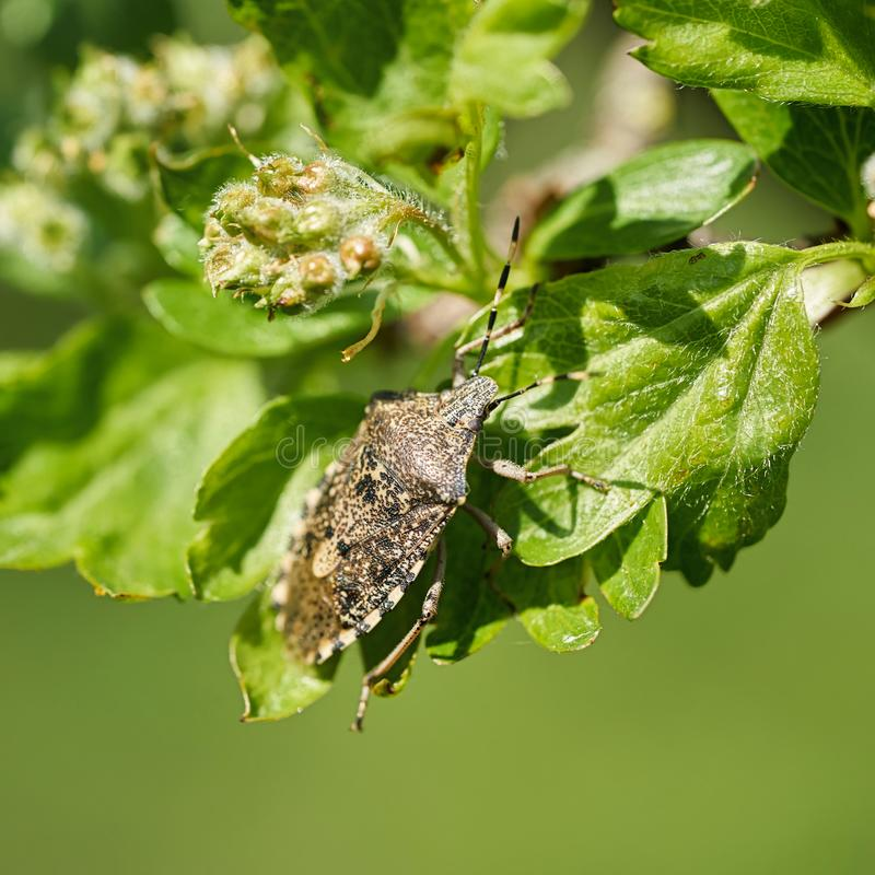 呈杂色的Shieldbug Rhaphigaster nebulosa 免版税库存图片
