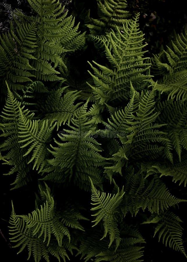 呈绿色绿色蕨在挪威 免版税库存图片