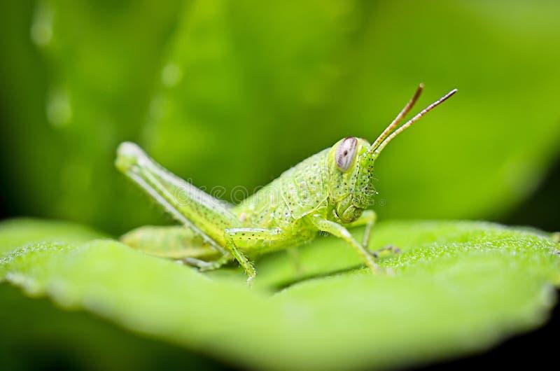 呈绿色Grasshoper 图库摄影