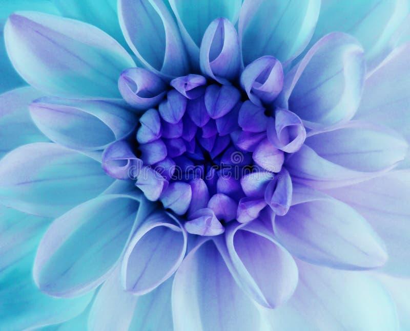呈虹彩turqoise大丽花花绽放 宏指令 蓝色中心 特写镜头 美丽的大丽花 对设计 免版税库存图片