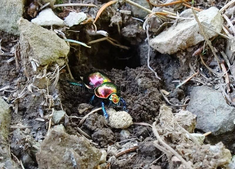 周到毒狗草的甲虫 免版税图库摄影