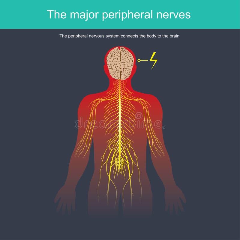 周围神经系统连接身体 皇族释放例证