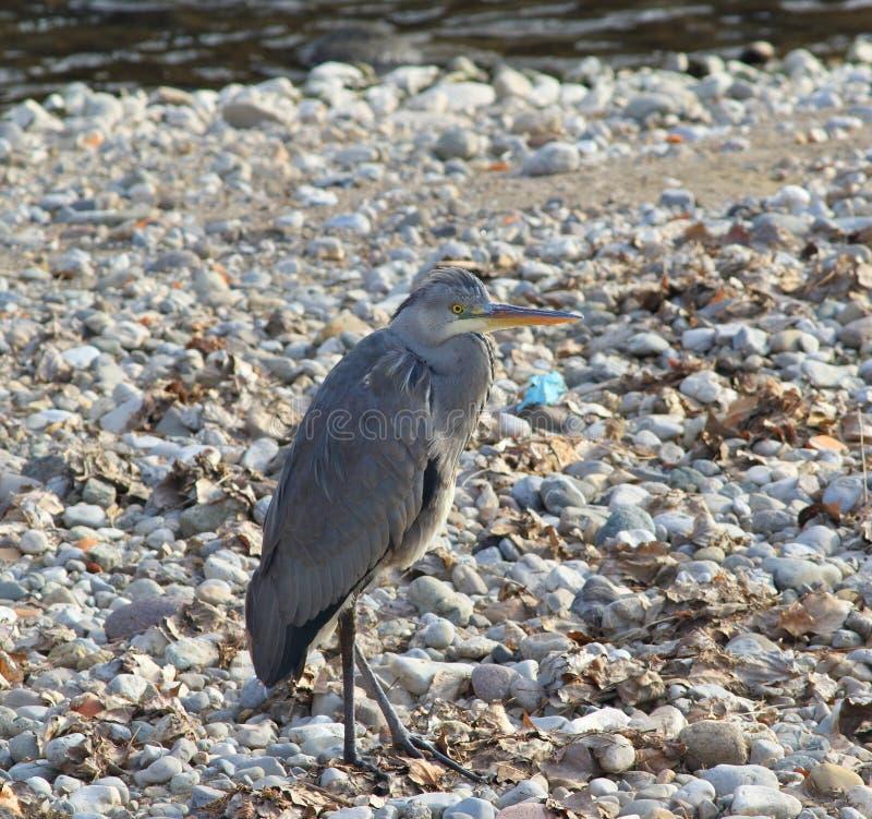 周道的灰色苍鹭 库存照片