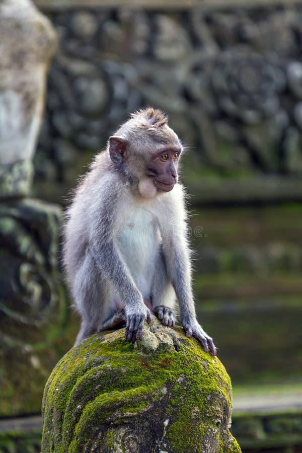 周道的猴子在Ubud森林,巴厘岛里 库存照片