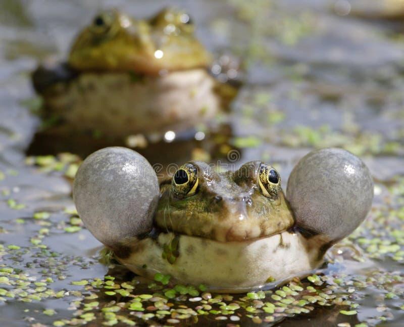 呱呱地叫的青蛙 免版税库存照片