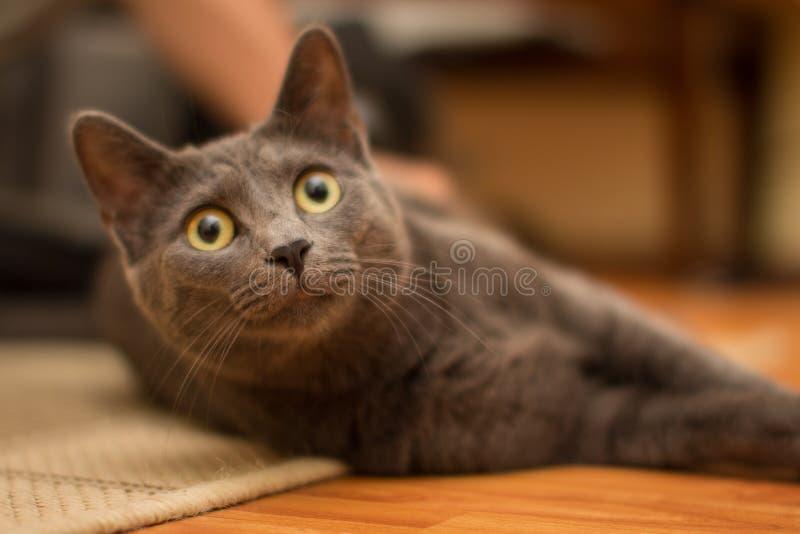 呵叻猫 库存照片